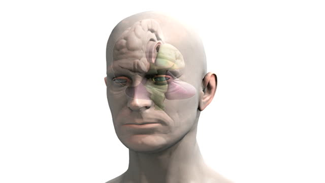 Animation depicting a zoom into the head of a 3D man. The brain becomes visible inside the head, showing a color coded cross section.  The camera then pans from left to right.