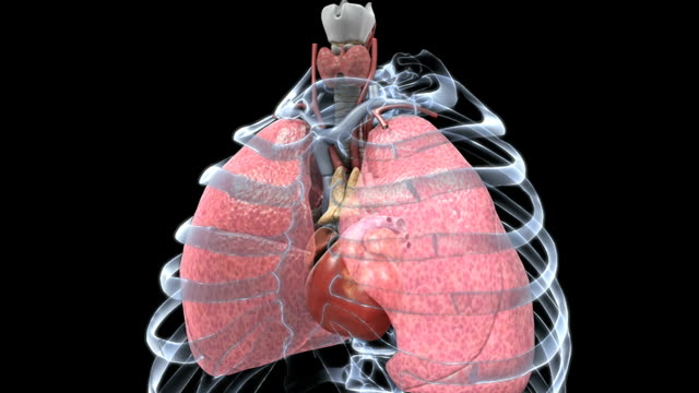 Animation depicting semi transparent lungs in motion with a beating heart in situ. The ribs are also present in an X-ray style.
