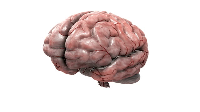 Animation depicting the anatomy of the brain. The camera begins from an elevated position which moves into a full rotation, it then zooms into the brain as the left lobes fades to reveal the interior
