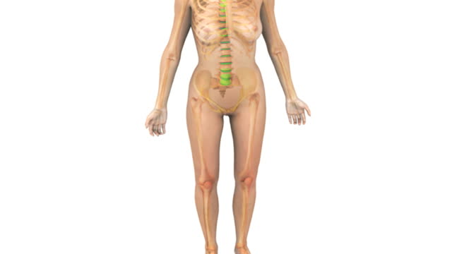 Animation depicting the female skeletal system fading up within the female body in a stylized view. The camera zooms into the abdominal area and pans up to the head.