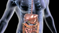 Animation depicts the digestive system. The body and skeleton are also visible in X-Ray style. The camera begins from an elevated shot, and rotates left to right and left again as it move down the bod