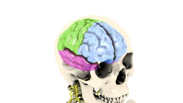 Animation depicts the lobes of the brain indicated by color. The skeleton and central nervous system are also visible. The camera zooms towards the skull, and turns through 180 degrees ending on a sid