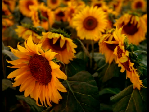CU animatronic sunflowers, facing camera, camera tilts up to sky and over sunflowers as they turn their heads to follow sun, Spain