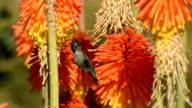 Anna's hummingbird, Calypte anna, fedding on Kniphofia