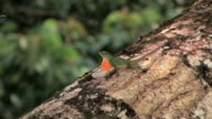 CU Anole Lizard showing orange throated courtship display and bobbing up and down on branch in Manu National Park / Peru