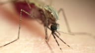 Anopheles mosquito feeding on skin