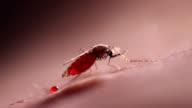 Anopheles mosquito feeding