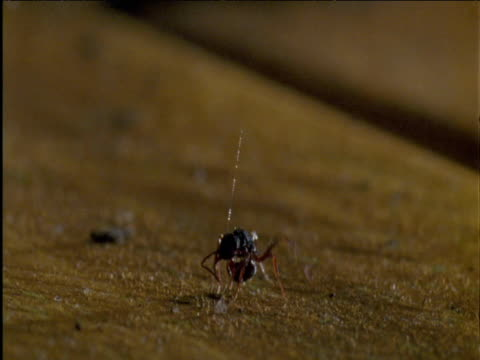 Ant is snatched up by sticky traplines hanging from redback spider's web Australia