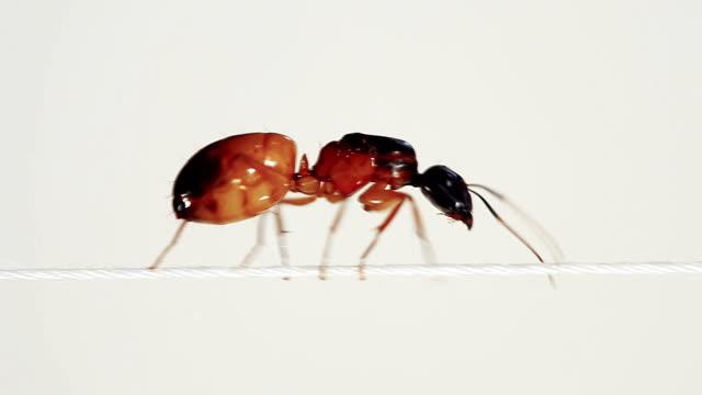 Ant running on horizontal thin rope