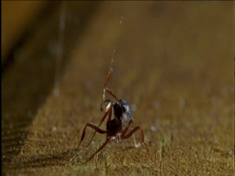 Ant struggles to free itself from sticky traplines hanging from redback spider's web Australia