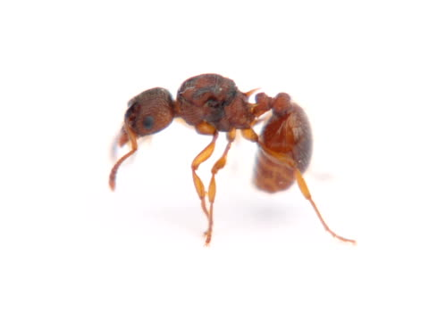 NTSC: Ant