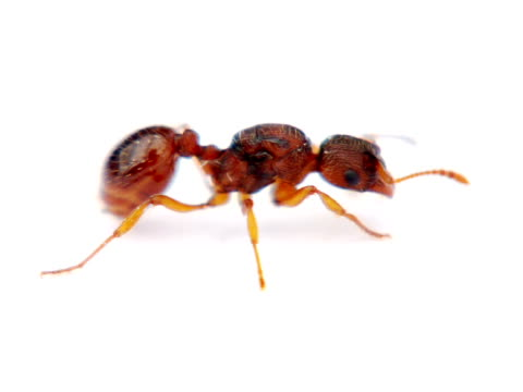 PAL: Ant