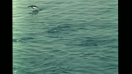 Antarctic Adelie penguin quickly crossing ice diving into water penguins swimming MS Marine Biologist watching w/ binoculars Smallest aquatic...