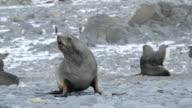 MS Antarctic fur seals on beach / Antarctica peninsular, Antarctica