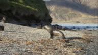 MS, PAN, Antarctic Fur Seals playing on pebbled beach, Antarctica