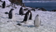 MS, PAN, Antarctica, Lemaire Channel, Gentoo Penguins on snowy sea shore
