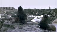 MS, Antarctica, Port Lockroy, Fur seals on rocky shoreline