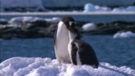 MS, Antarctica, Port Lockroy, Gentoo Penguin feeding chick on snowy shoreline