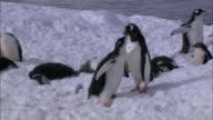 MS, PAN, Antarctica, Port Lockroy, Gentoo Penguins with chicks on snow