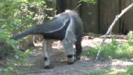 Anteater in HD