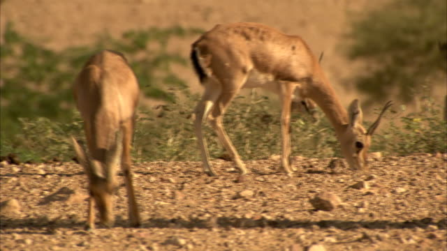Antelope graze on the dry landscape in India.