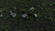 Antelope skeleton lies amongst sprouting grass on savannah, Uganda