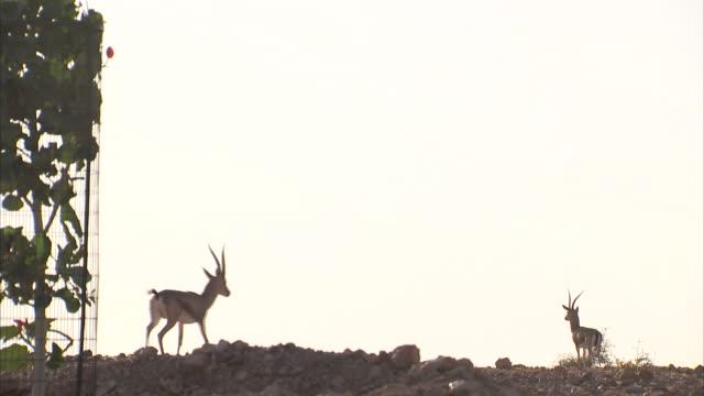 Antelope walk along a rocky ridge.