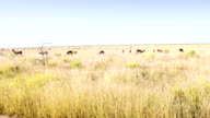 WS Antelopes Feeding In The Savannah