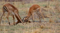 MS TS Antelopes training how to fight / Lukuzi, Eastern, Zambia
