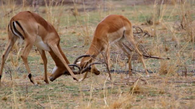 MS TS Antelopes training how to fight / Lukuzi, Eastern, Zambia