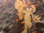 Anthias WS feeding on gorgonian coral