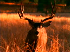 Antlered deer standing in grass