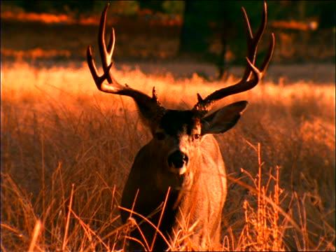 Antlered deer standing in grass