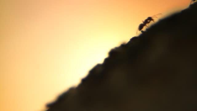 Ants anthill sunset - HD, NTSC