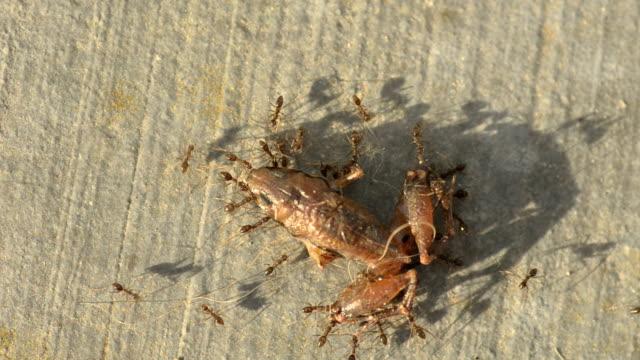 Ants carry carcass