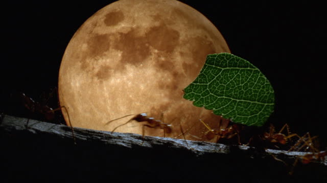 Ants carry leaves silhouetted against yellow moon rising in background Available in HD.