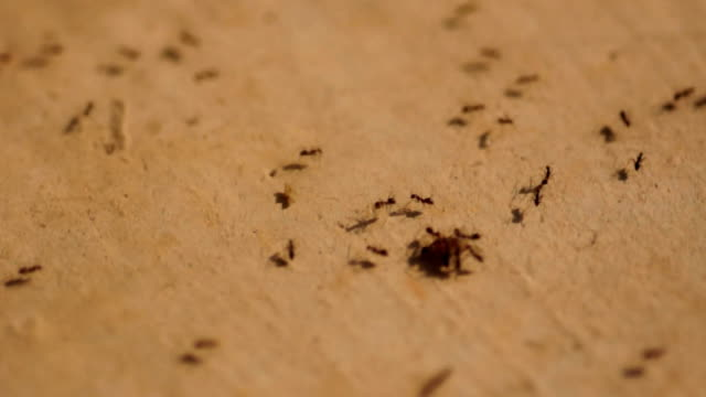 ants carry their foods