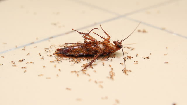 Ants eating dead cockroach