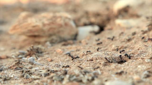 HD: Ameisen