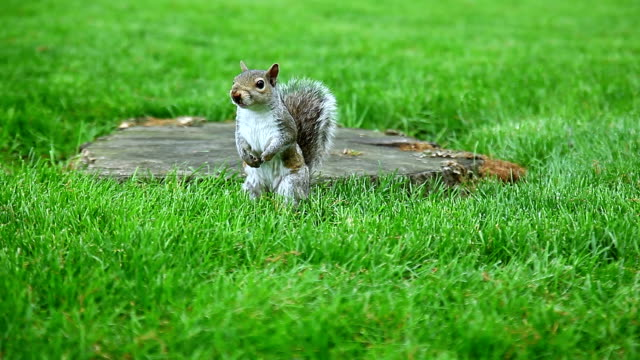 Anxious Gray Squirrel on the green glade