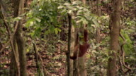 Ape swings through forest on a vine