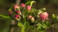 Apple blossom on Newton's famous apple tree