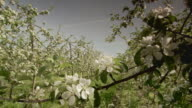 Apple orchard are in bloom