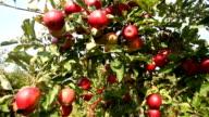 Apple Orchard, camera pan