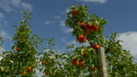Apple trees, agriculture