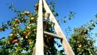 Apples and ladder