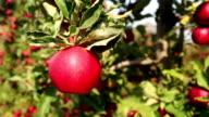Apples, camera pan