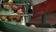 Apples roll down a conveyor belt chute at an apple packing factory.
