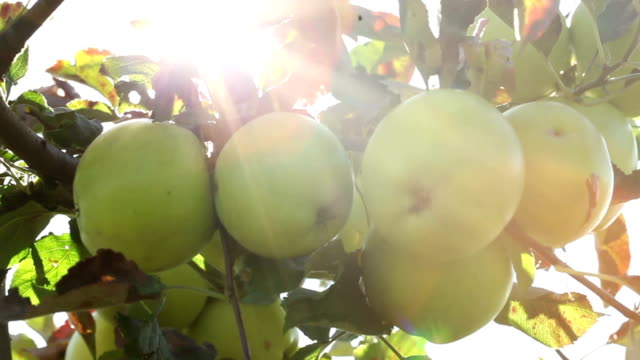 Apples with sunlight
