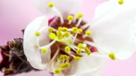 Apricot flower blooming against pink background in a time lapse movie. Prunus armeniaca growing in moving time lapse.